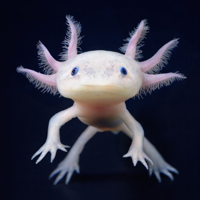 Коренастая саламандра, обычно длина ее составляет от 90 до 350 мм от хвоста до кончика морды.