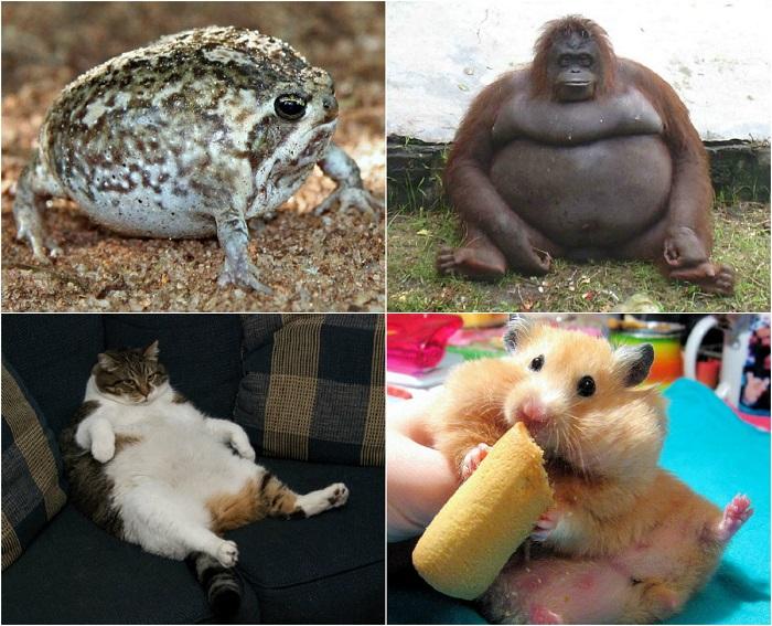 Животные с избыточным весом.