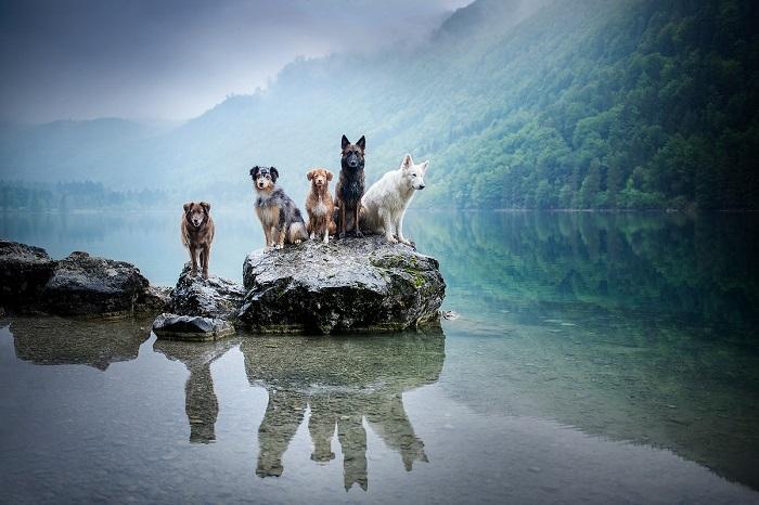 Веселая и неугомонная троица с удовольствием позируют хозяйке на съемках и помогает в работе с другими собаками.