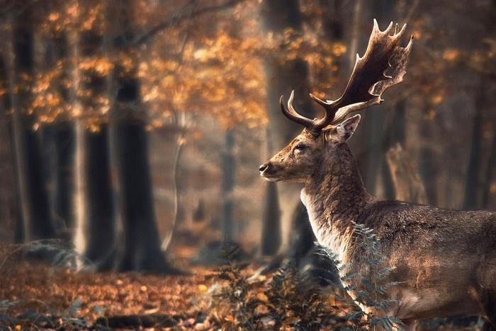 Олень, одиноко бродящий по осеннему лесу.