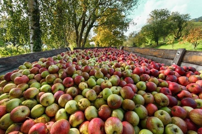 Одни из наиболее популярных фруктовых плодов, подлежащих зимнему хранению.
