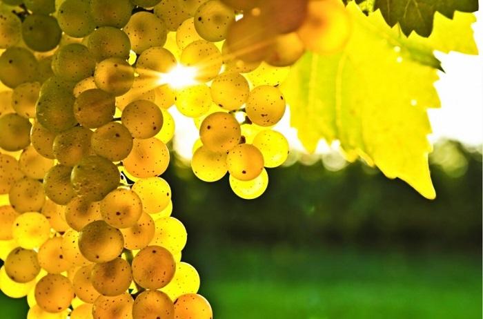 Сияние солнца сквозь гроздь винограда.