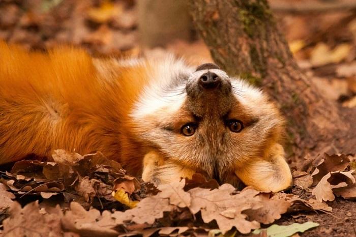 Осень как лиса: рыжая, игривая, мягкая и теплая.