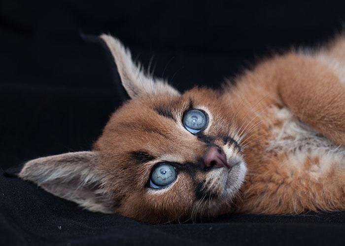 Представителя кошачьей экзотики.