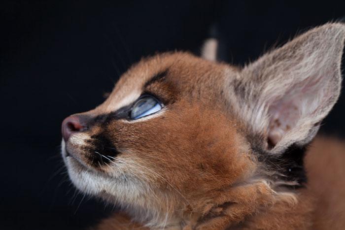 Эти животные очень умны, как тайские кошки и достаточно послушны.