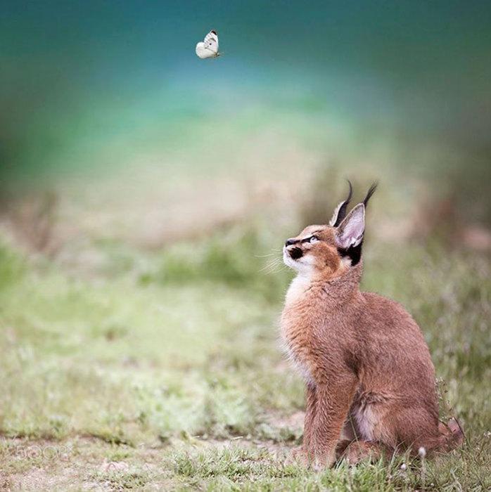 Каракал отлично справляется с ловлей мелких антилоп, зайцев, павлинов и фазанов.