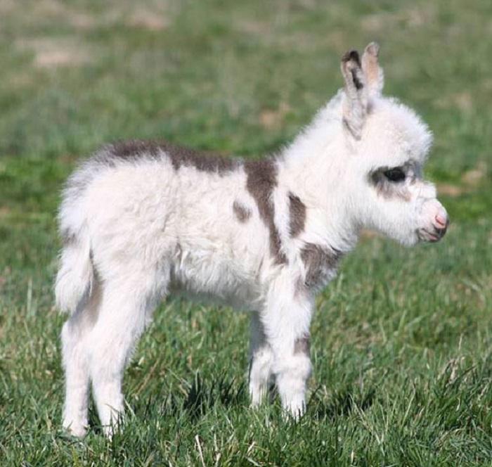 Маленький ослик покоряет своей привлекательностью.