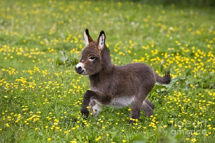 Безумно симпатичный карликовый ослик по имени Спарки.