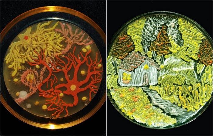 Произведения искусства из различных видов бактерий в чашках Петри.