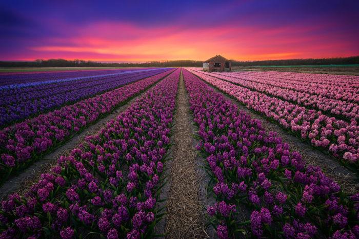 Потрясающее бесконечное цветочное поле.