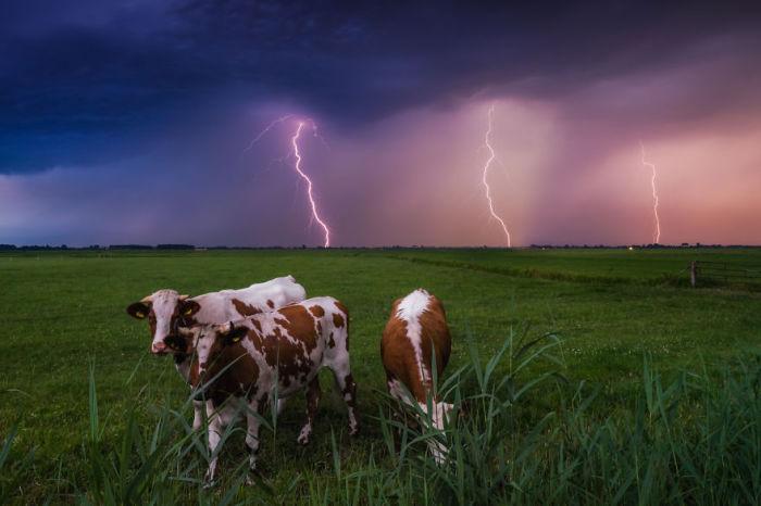 В Голландии любят и почитают коров.