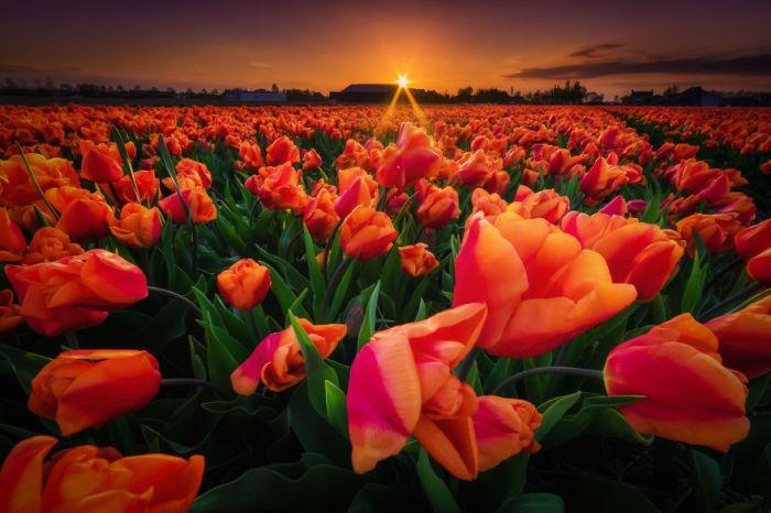 Голландия считается мировым лидером по выращиванию тюльпанов.