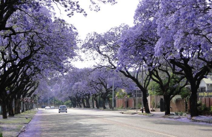 Цветущие удивительным сиреневым цветом деревья образуют целый коридор, наполненный сладкими ароматами.