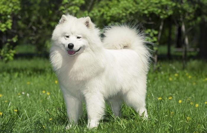 Густая белая шерсть самоедской собаки помогала ей оставаться незаметной на снегу и защищала от холода.