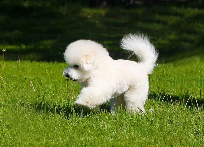Необычно красивые декоративные собачки с пушистой белоснежной шерстью являются отличными компаньонами. /Фото: royal-canin.ru