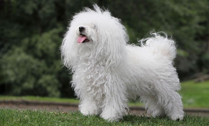 Жизнерадостные представители этой породы, обладающей густой и длинной белой шерстью, практически не линяют. /Фото: royal-canin.ru