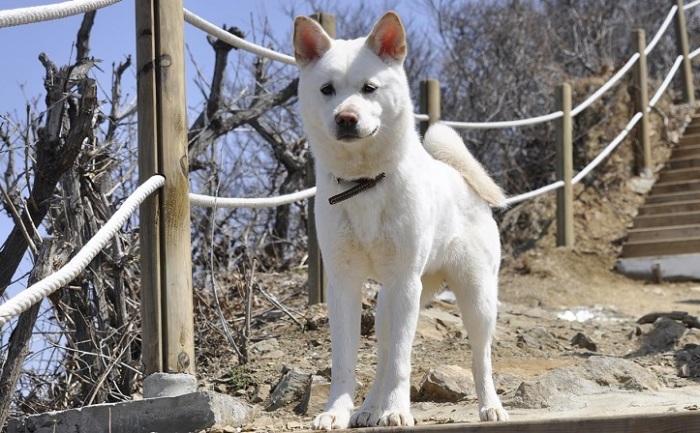 Представители древней японской породы собак привязываются только к одному человеку. /Фото: egida.by