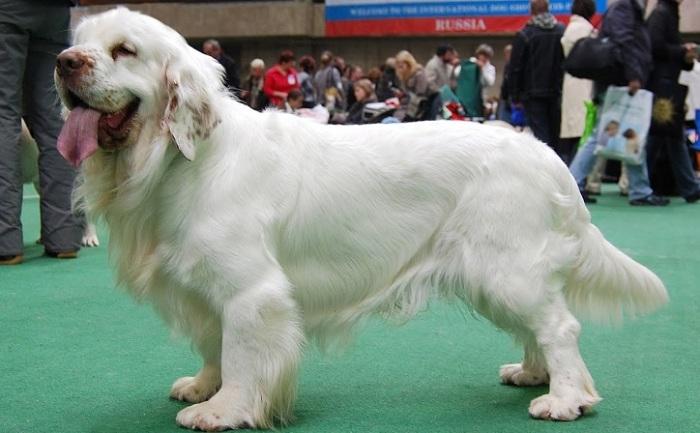 Собаки этой редкой породы получили особую популярность среди английской аристократии. /Фото: i.ytimg.com