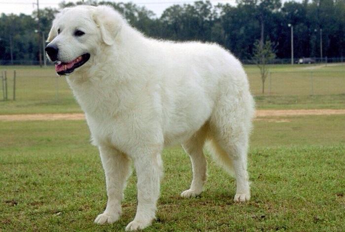 Эти большие и надежные собаки использовались для охраны домашнего скота, а белоснежный окрас помогал отличать их от хищников. /Фото: sobaki-pesiki.ru