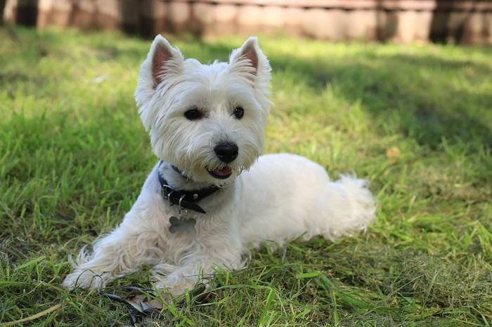 В Шотландии собаки использовались для охоты на лисиц и, чтобы не спутать собаку с добычей, белых песиков стали разводить специально. /Фото: petadvisor.in.ua