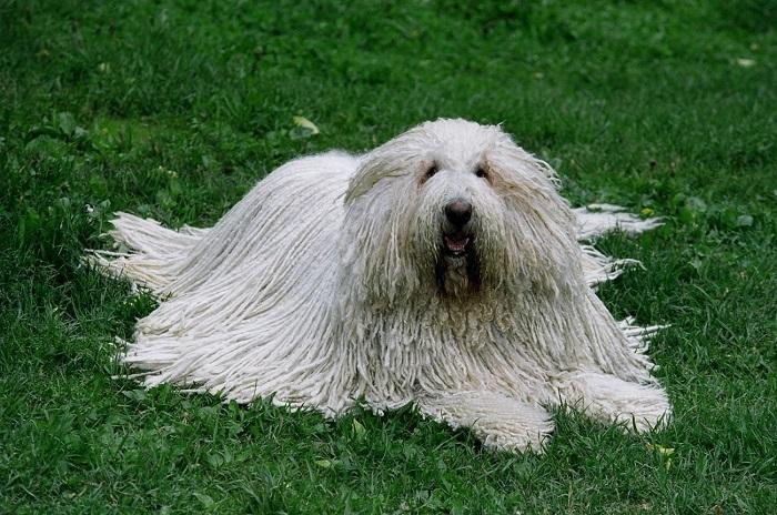Собаки этой породы идеально приспособлены для работы «овечьими пастухами», в чем им немало помогает свернутая в шнуры длинная белая шерсть. /Фото: prosobak.com