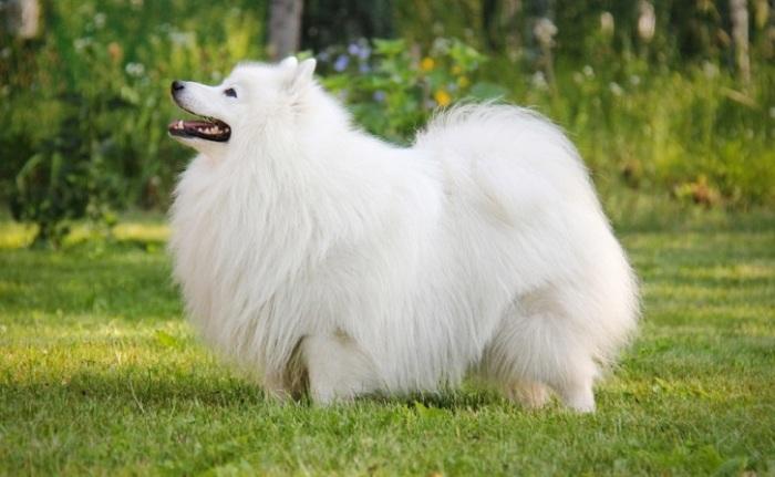 Густая чисто белая шерсть придает этим дружелюбным собакам элегантный и нарядный вид. /Фото: sobaki-pesiki.ru