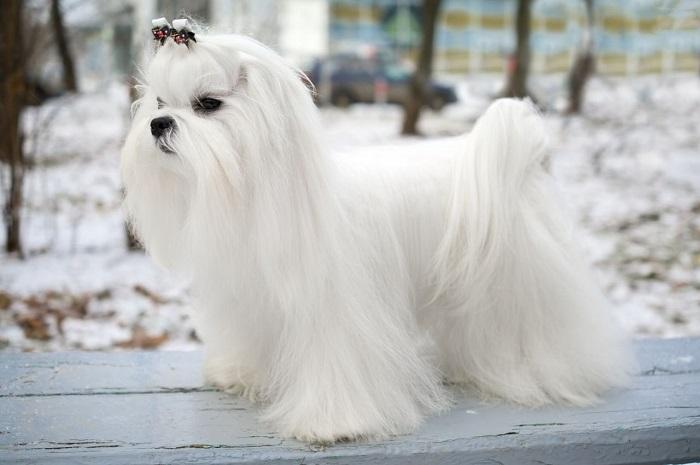 Отличительной особенностью этой элегантной небольшой «белоснежки» с длинной шерстью является исключительно белый окрас. /Фото: petsvillage.ru