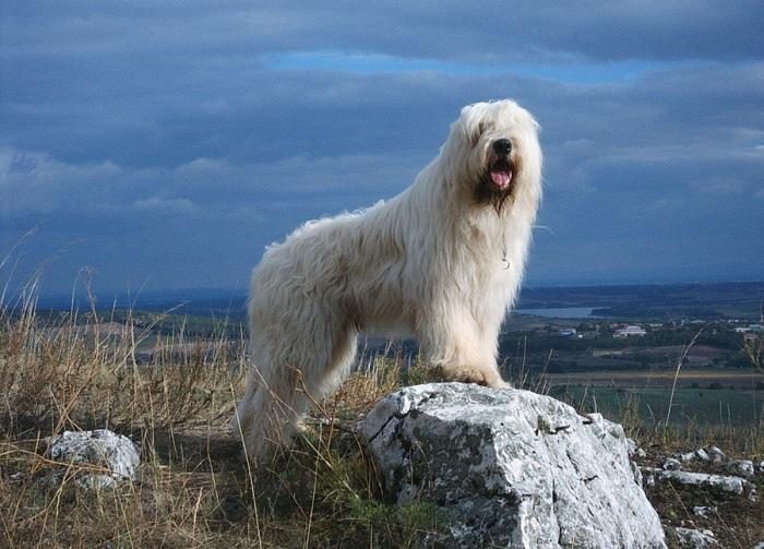 Собаки с длинной белой шерстью напоминают огромных болонок, но представители этой пастушьей породы отличаются агрессивностью и свирепостью. /Фото: dog.dn.ua
