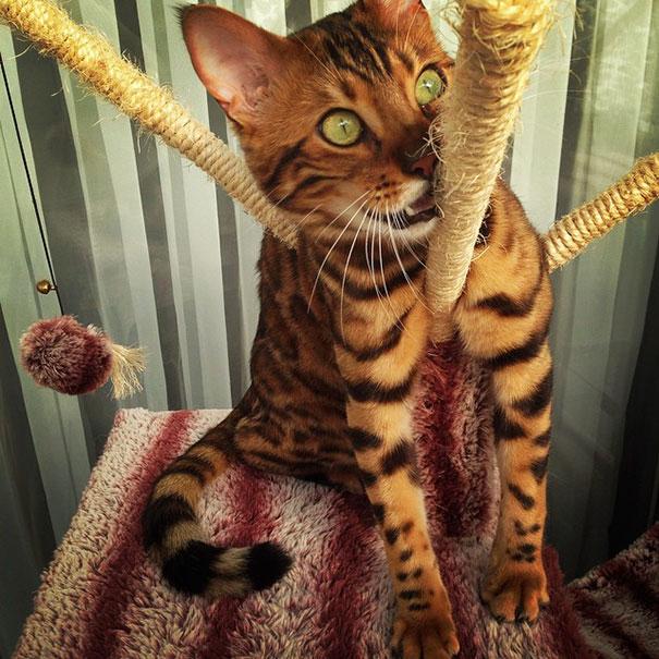 Добрый, милый и ласковый, так же как и обычные домашние кошки.