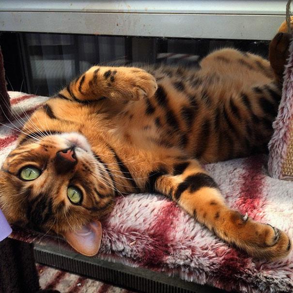 Маленький тигр с душой игривого котенка.