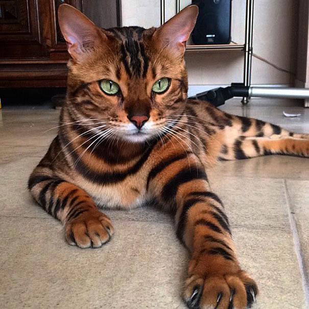 Кот выглядит внушающе, но характер у него очень покладистый.