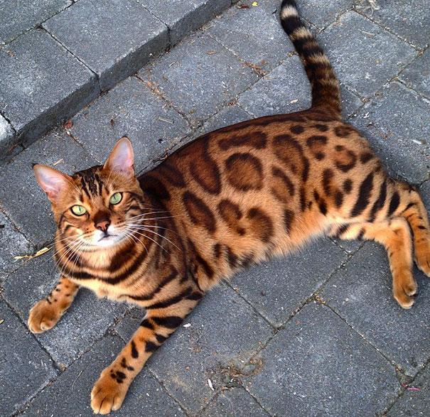 Бенгальская порода выведена путем помеси азиатской леопардовой кошки с обычным домашним черным котом.