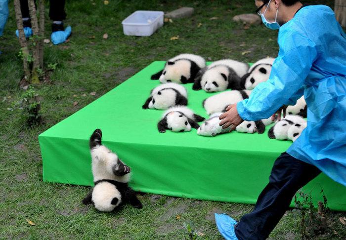 Детеныш панды упал с выставочного стола на выставке, которая проходит в провинции Сычуань, Китай.
