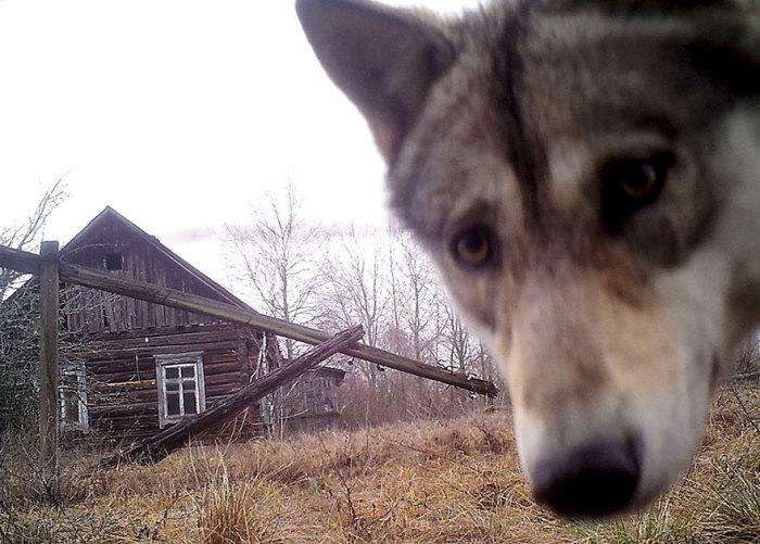 Молодой волк, обследуя территорию, находит камеру, установленную в Чернобыльской зоне.