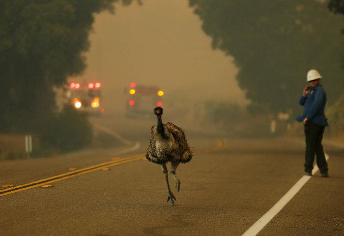 Страус эму бежит по трассе, спасаясь от калифорнийского пожара.