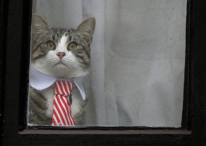 Кот австралийского интернет-журналиста и телеведущего Джулиана Ассанжа сидит у окна посольства Эквадора в ожидании хозяина.