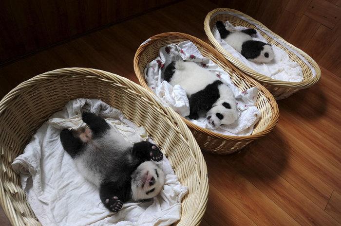 Панды мирно посапывают в своих корзинах в центре разведения животных в провинции Сычуань, Китай.
