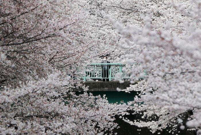 Мужчина любуется красотой цветущих деревьев в Токио.