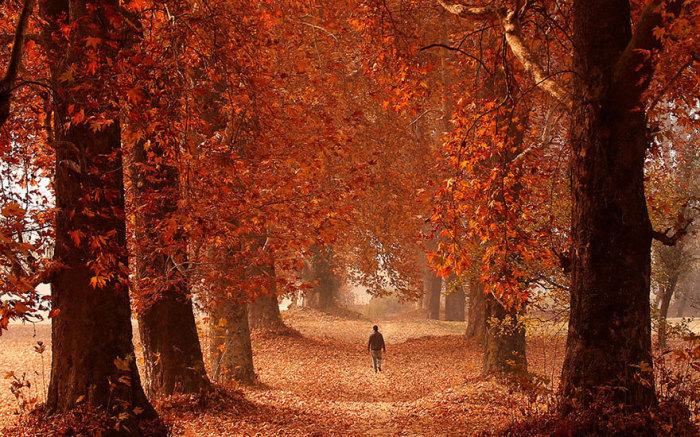 Мужчина прогуливается в индийском парке в Кашмир, который пылает огненной листвой.