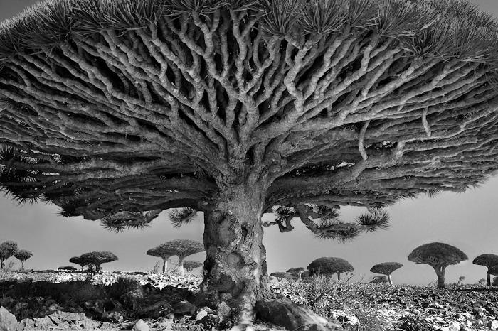 Загадочные и внушительные 500-летние драконовы деревья можно увидеть на архипелаге Сокотра (Йемен).
