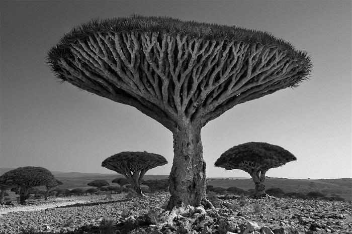 Скопления причудливых деревьев с плоской кроной очень отличаются от привычного густого леса.