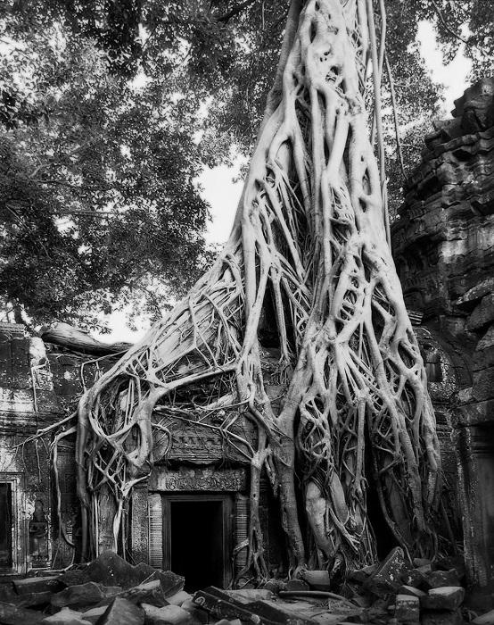 Древние тропические деревья, оплетающие корнями руины храма Та Прохм в Ангкоре (Камбоджа).