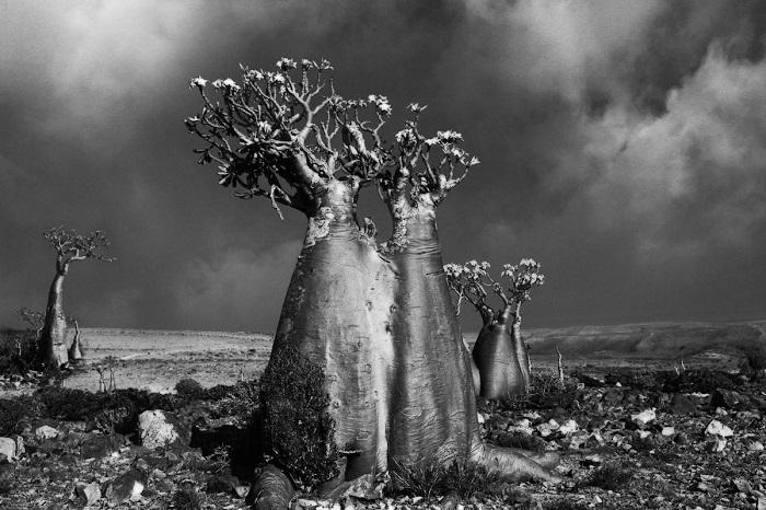 Адениум, не смотря на свой необычный вид, считается самым красивым из цветущих растений Земли.