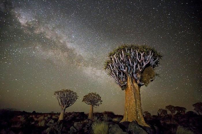 Драконовы деревья на фоне усеянного звездами неба кажутся необычными гостями нашей планеты.
