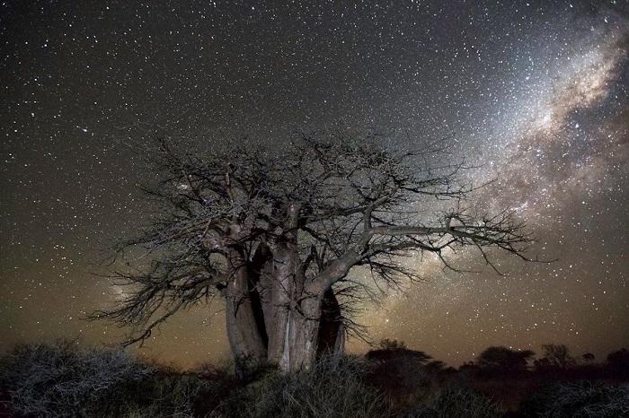 Старые деревья Африки как будто стремятся достать ветвями звездное небо.