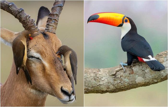 Названы номинанты орнитологического фотоконкурса Bird Photographer of the Year 2018.