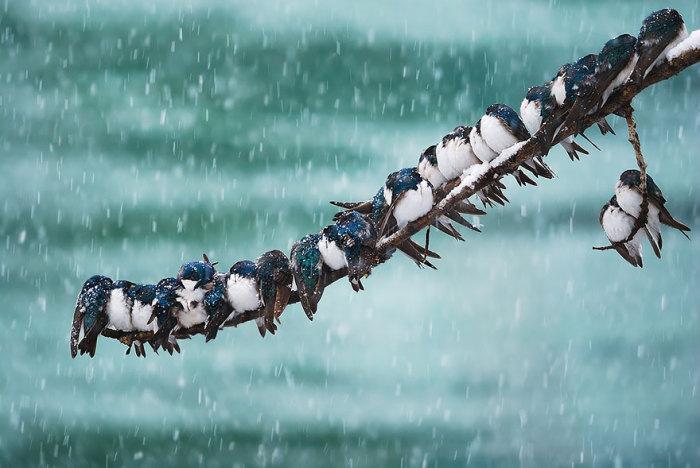 Ласточки прижимаются друг к дружке, чтобы согреться во время нежданной весенней метели.