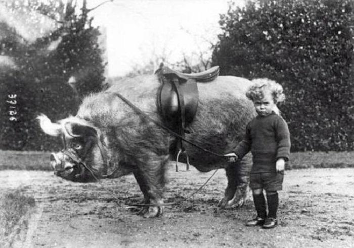 Мальчик стоит рядом со своим кабаном для верховой езды. 1930 год.