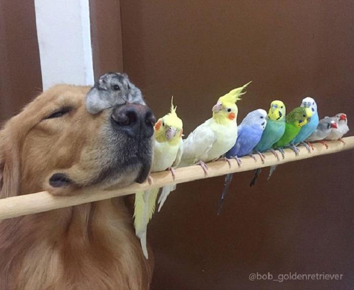 Собака по имени Боб привязалась к попугаям и хомяку.