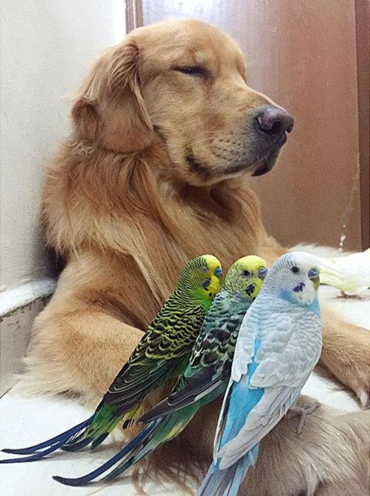 Птицы считают Боба и подушкой, и жердочкой, и местом для игр.